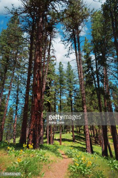 footpath lined with arrowleaf balsamroot flowers leading through tall evergreen trees along station creek trail, garden valley, idaho - anna creek station stockfoto's en -beelden