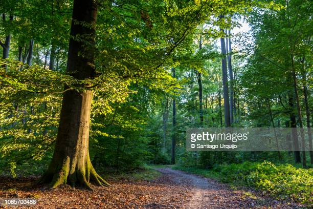 footpath on a beech forest - capital region stock pictures, royalty-free photos & images