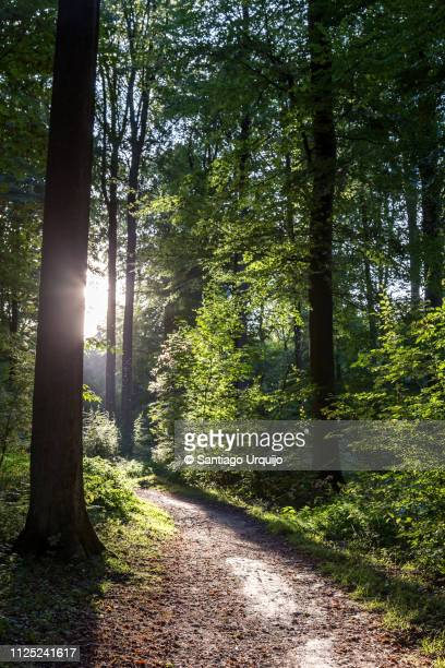footpath on a beech forest - beech tree stock pictures, royalty-free photos & images