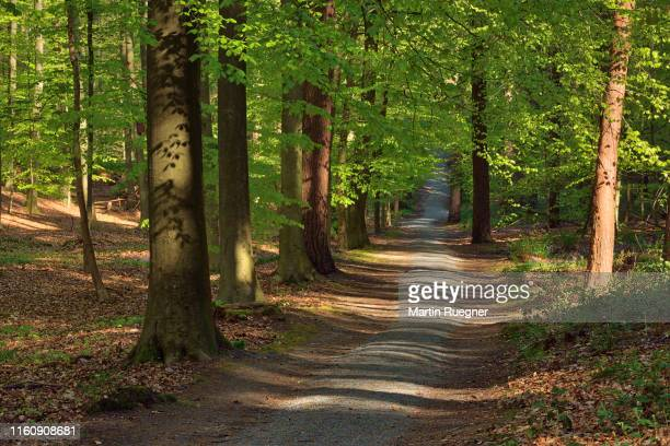 footpath or dirt road through hardwood beech forest in early spring. - beech tree stock pictures, royalty-free photos & images