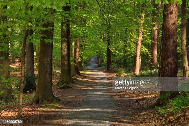 footpath or dirt road through hardwood beech forest in early spring. - capital region stock pictures, royalty-free photos & images