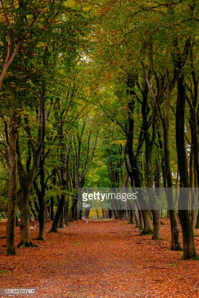 "footpath through a beech tree forest during an autumn day - ""sjoerd van der wal"" or ""sjo"" stock pictures, royalty-free photos & images"