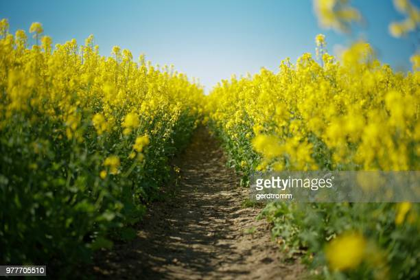 Footpath through a rapeseed field, East Frisia, Germany