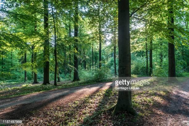 footpath through beech forest - árbol de hoja caduca fotografías e imágenes de stock