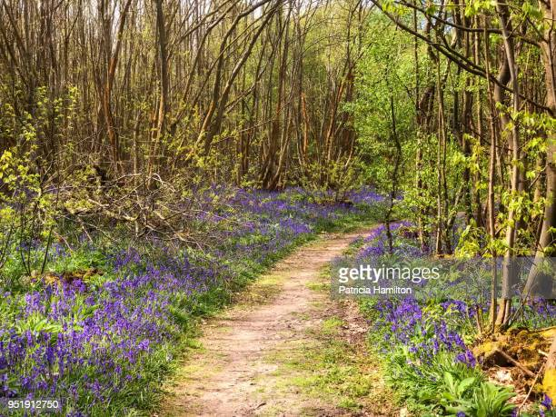 footpath through bluebell woods, guestling - bluebell wood stock pictures, royalty-free photos & images