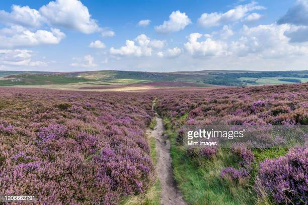 footpath through fields of heather in the peak district national park. moorland and view of the surrounding hills and landscape. - south yorkshire stock pictures, royalty-free photos & images