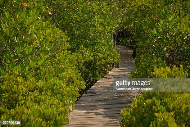 Footpath through mangroves forest in east shore at Pra Sae province Rayong, Thailand