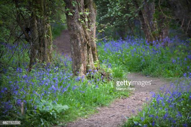 Footpath through the bluebells, Brampton, Cambridgeshire, East Anglia, UK