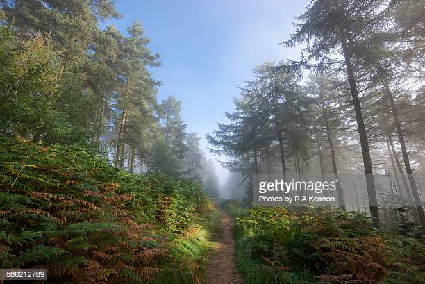 footpath through the misty forest - larch tree stock pictures, royalty-free photos & images