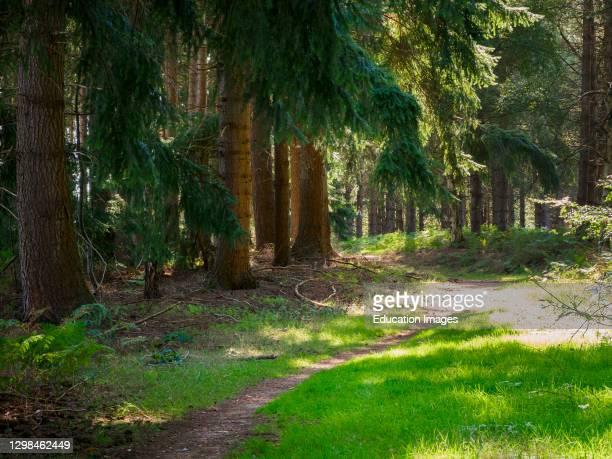 Footpath with dappled sunlight through Thetford Forest, Norfolk, UK.