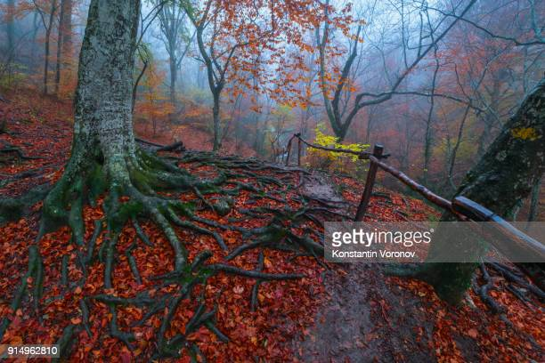 A footpath with handrails in a mountain autumn forest. The roots of the old tree. Red and yellow leaves. In the distance you can see the waterfall. Landscape with fog