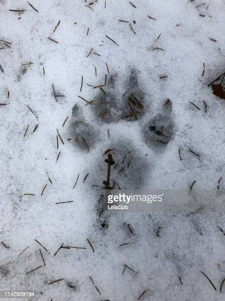 Footprint of a dog or wolf in the snow