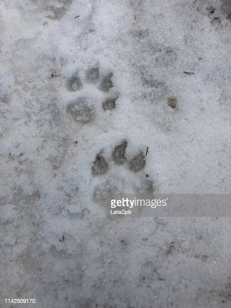 Footprints of a dog or wolf in the snow