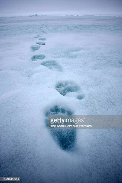 Footprints of polar bear are seen on May 20 2008 in Canada