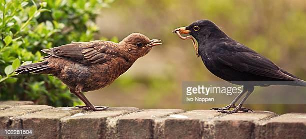 Foraging common blackbirds