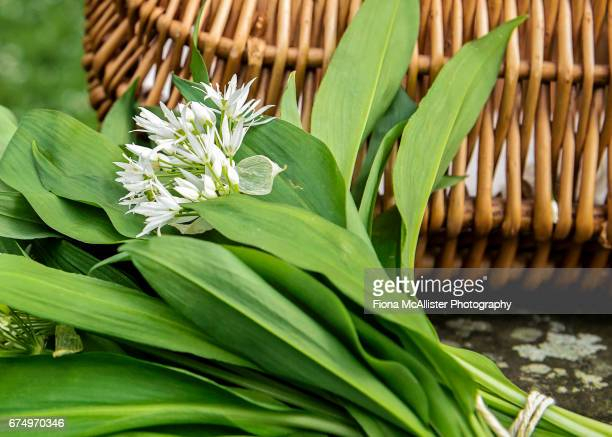 foraging for wild garlic - ail des ours photos et images de collection