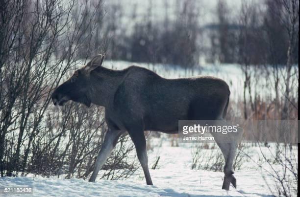 Foraging Moose