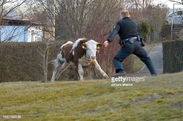Forces of the police and the fire brigade hunt down a cow betwen ErfurtSchmira and ErfurtBischleben Germany 9 March 2016 The cow apparently ran away...
