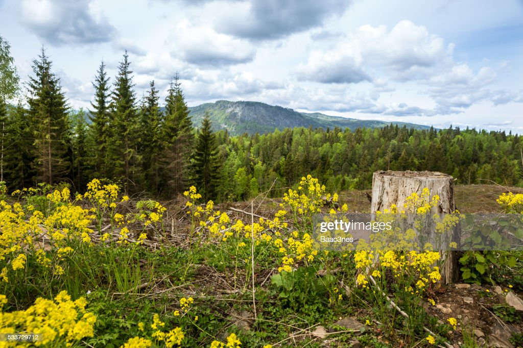 Forest and Rapeseed - Norwegian nature : Foto stock