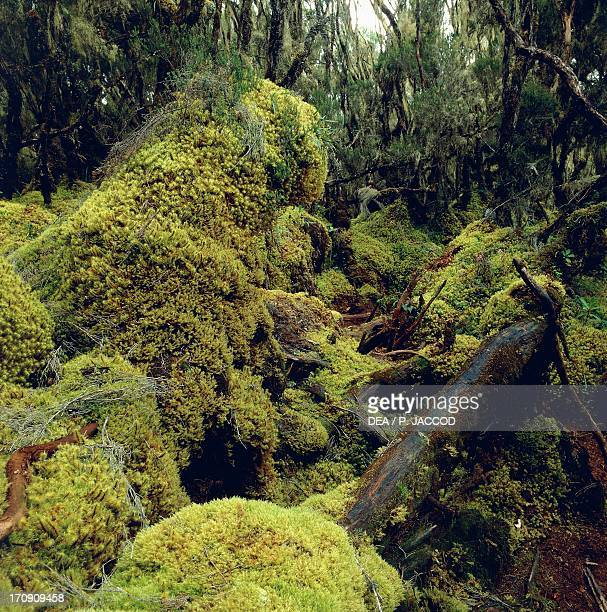 Forest at 3500 metres Rwenzori Mountains Virunga National Park Democratic Republic of the Congo