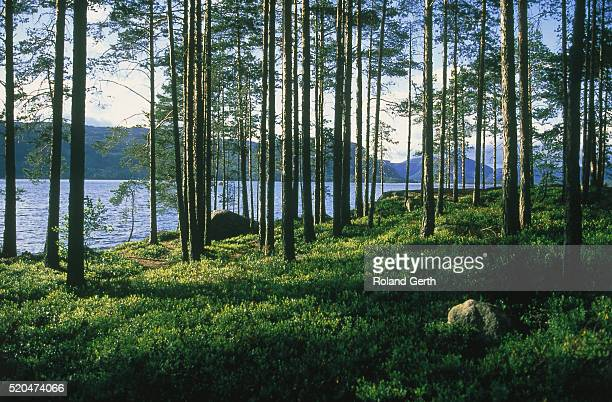 Forest at a fjord in Norway