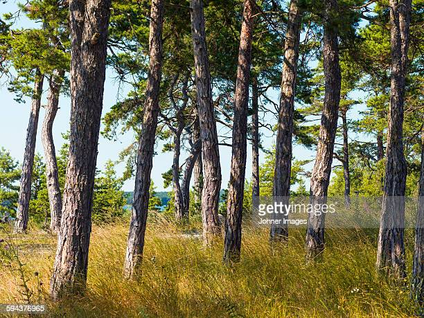 forest at summer - gotland bildbanksfoton och bilder