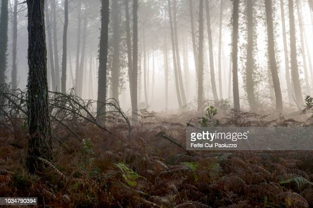 forest at tarnos, landes department, france - aquitaine stock photos and pictures