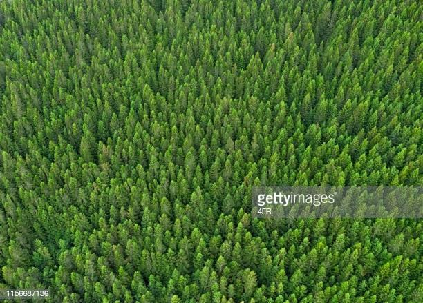 forest bakgrund, norge - barrväxter bildbanksfoton och bilder
