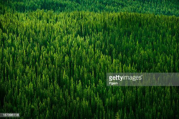 forest background - evergreen tree stock pictures, royalty-free photos & images