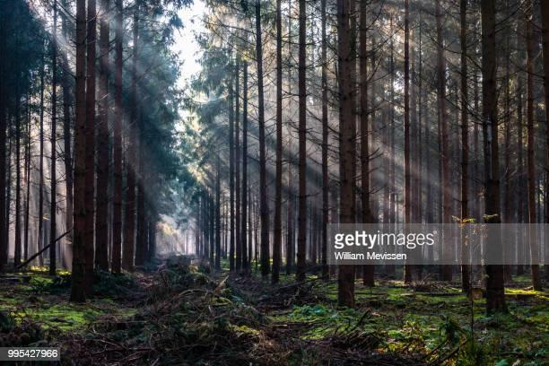 forest beams - william mevissen fotografías e imágenes de stock