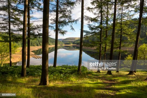forest beside derwent reservoir, peak district, derbyshire, england - larch tree stock pictures, royalty-free photos & images