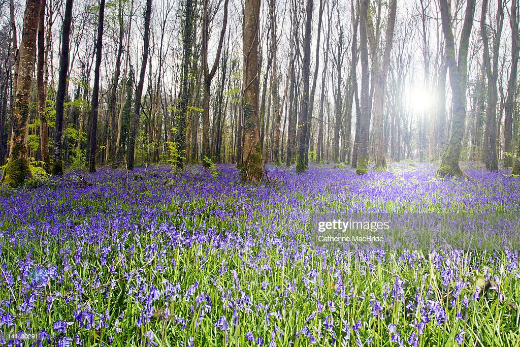 Forest bluebells : Stock Photo