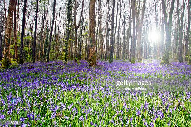 forest bluebells - kildare stock photos and pictures