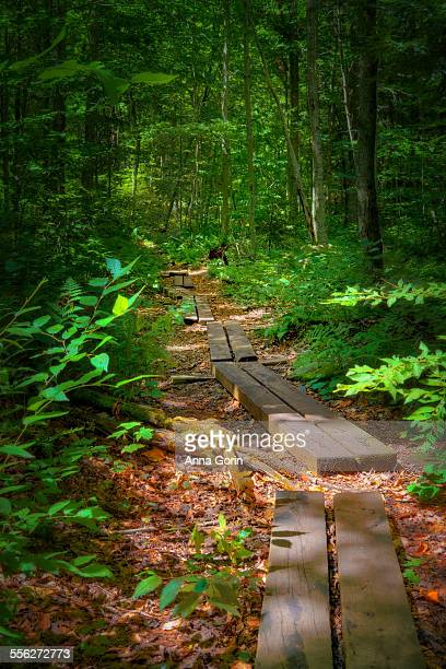 Forest boardwalk in Adirondacks in summer, NY
