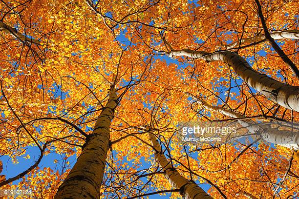 forest canopy in fall colors - murray mccomb stock pictures, royalty-free photos & images
