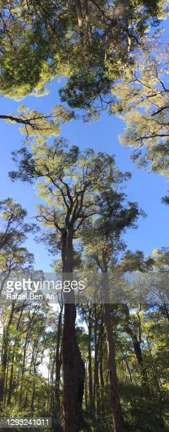 forest canopy perth hills western australia - rafael ben ari 個照片及圖片檔