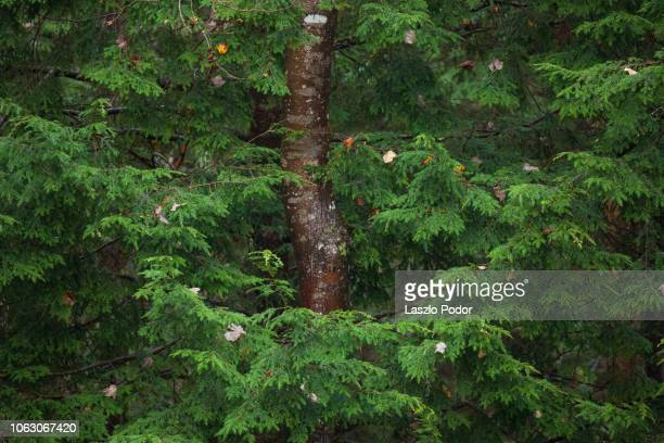 forest close-up - hemlock tree stock pictures, royalty-free photos & images