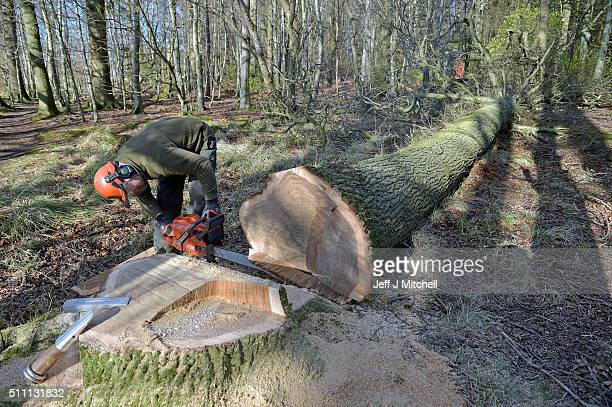 Forest craftsman Alistair Miller fells an oak tree on the Dunecht Estate on February 18 2016 in Dunecht Scotland HMS Victory was originally made from...