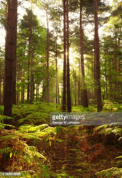 forest dawn iiii - george wood stock pictures, royalty-free photos & images