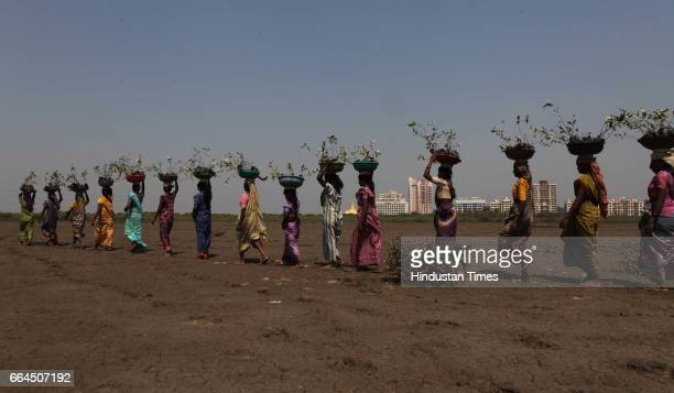 Forest department planted 33000 mangrove saplings spread over more than 30 hectares of barren land in charkop village kandivali in Mumbai
