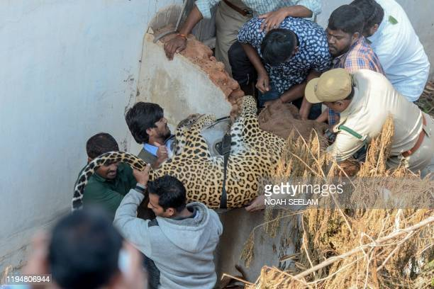 Forest Department workers carry a tranquilised leopard that has entered a residential area after catching it at Shadnagar, some 60 kilometers from...