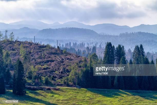 ハリケーンnピアナ・ディ・マルケシーナによって破壊された森林、アジアゴ高原、イタリア - pinacee ストックフォトと画像