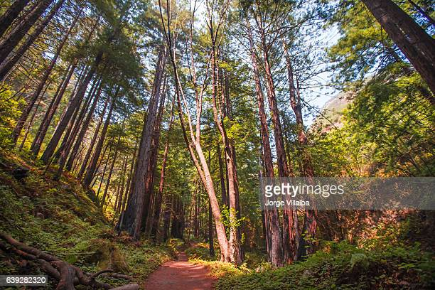 forest during spring time - hemlock tree stock pictures, royalty-free photos & images