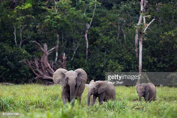 Forest elephant female with two calves walking across a Bai