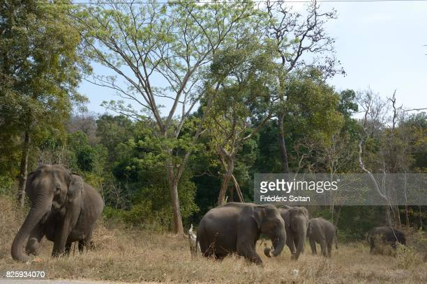 Forest elephant in Kerala on January 18 2017 in India