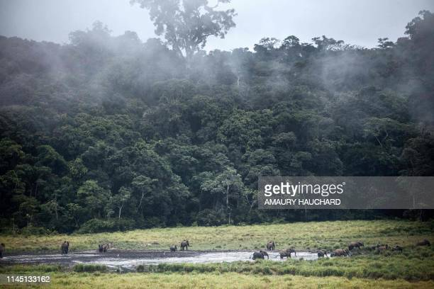 Forest elephants are seen at Langoue Bai in the Ivindo national park on April 26 2019 near Makokou Discovered in 2001 Langoue Bai a marshy clearing...