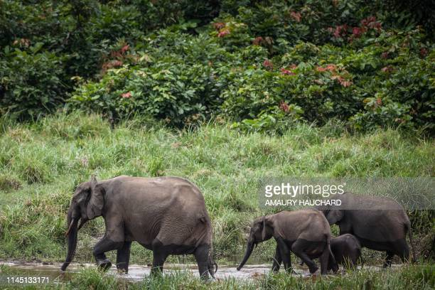 Forest elephants are seen at Langoue Bai in the Ivindo national park, on April 26, 2019 near Makokou - Discovered in 2001, Langoue Bai, a marshy...