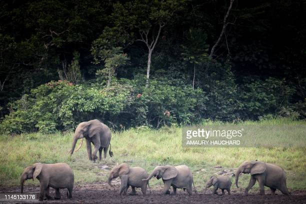 TOPSHOT Forest elephants are seen at Langoue Bai in the Ivindo national park on April 26 2019 near Makokou Discovered in 2001 Langoue Bai a marshy...