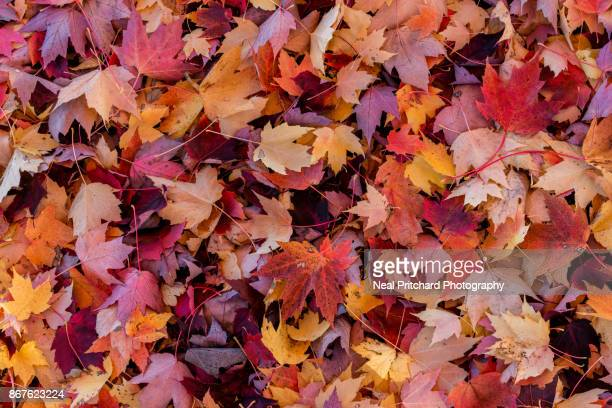 forest fall colour - leaves stock photos and pictures