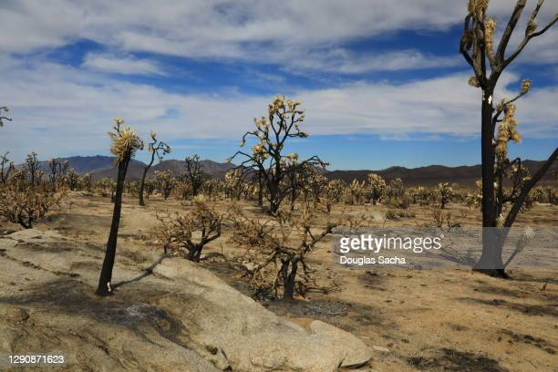 forest fire damaged joshua trees forest in mojave desert - chihuahua desert stock pictures, royalty-free photos & images